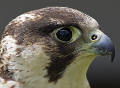 Close Encounter of the bird (of prey) kind (ORIONSM) Tags: falcon bird prey portrait eyes beak raptor reflection nature wildlife pentaxk3