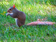 IMG_0805 (shawnzrossi) Tags: graceland memphis tennessee squirrel