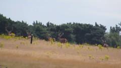Red Deer (cervus elaphus) (mrm27) Tags: deer reddeer cervus cervuselaphus westletonheath suffolk