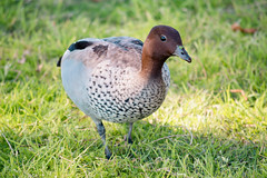 Wood Duck (Merrillie) Tags: nsw fauna wildlife saratoga centralcoastnsw woodduck davistown australia birds ducks animals nswcentralcoast centralcoast newsouthwales nature