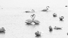 Pure love. (K16mix) Tags: kurihara miyagi japan izunuma asia ramsarconvention eaafp morning love pure lake water swan whooperswan wildlife wildbird nature