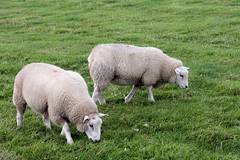 Sheep V (tillwe) Tags: sheep dagebll dike tillwe 201608