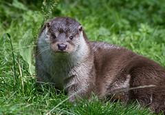 Otter (Mike Serigrapher) Tags: otter chestnut centre derbyshire pentax 300mm da f4 explore explored