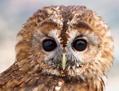 Not guilty... (Glenn van Windt) Tags: strixaluco aves bird vogel birdofprey roofvogel owl uil tawnyowl bosuil nature natuur canonef300mmf28lisusm ~themagicofcolours~viii