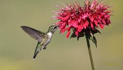 Tiny Beauty  /  Petite beaut (ricketdi) Tags: bird cantley colibri colibriagorgerubis hummer hummingbird ruby rubythroatedhummingbird archilochuscolubris diane explore20aout20166