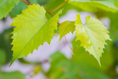 Grape leaves (Raoul Pop) Tags: garden edges green grapevine fall season grapeleaves autumn medias transilvania romania ro