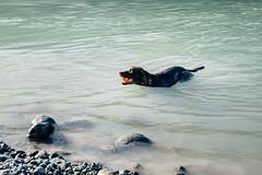 chase-roam-early-morning-mamquam-200816-ajbarlas-1187.jpg (A R D O R) Tags: ajbarlas ardorphotography blacklab chase chocolatelab dogs labrador puppy roam