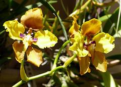 Cyrtochilum macranthum 2-1 species orchid 7-16 (nolehace) Tags: cyrtochilum macranthum 21 species orchid 716 summer nolehace sanfrancisco fz1000 flower bloom plant