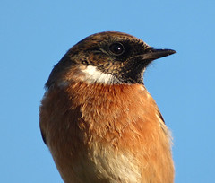 Stonechat (Peanut1371) Tags: stonechat chat bird sky brown nationalgeographicwildlife