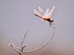 Red dragon-fly (Beatriz-c) Tags: dragonfly liblula fulel rama red orange insect insecto nature natura naturaleza summer verano