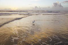 Snowy Egret Strut [Egretta Thulla] at Sunrise (TaranRampersad) Tags: snowyegret egrettathulla egret sunrise beach ocean atlantic newsmyrnabeach florida sunset wildlife bird strut