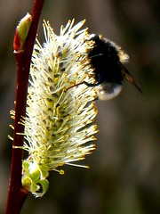 Pussy Willow (Pauline Deas) Tags: insects bee pussy willow floral fauna callander trossachs scotland outdoors spring