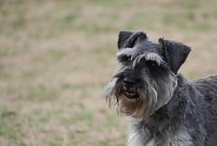 Smile (yvonnepay615) Tags: panasonic lumix gh4 dog coth