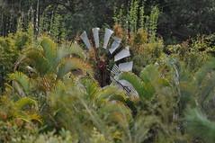 10 Foot IBC Geared Simplex windmill; Mooloolah, Queensland (sarracenia.flava) Tags: ibc intercolonial boring company windmill geared simplex mooloolah valley queensland