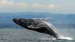 2016-10-02_05-26-02 (halland71) Tags: iceland keflavik whale jump humping blue ocean sea seashore wildlife nature god church