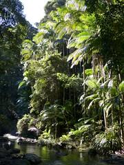 Springbrook Plateau, on 9th June (tanetahi) Tags: springbrooknationalpark stream archontophoenixcunninghamiana picabeen bangalow palm arecaceae