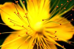 flowers in the Garden of Bouvigne Breda 3 (cees van gastel) Tags: ceesvangastel canoneos550d tamron70300mm natuur nature bloemen flowers bouvignebreda garden tuin macromettussenringen macrowithextensionrings