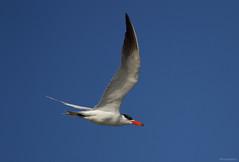 Caspian Tern - IMG_3389a1c1 (Sue Coastal Observer) Tags: caspiantern cate hydroprognecaspia flight blackiespit surrey britishcolumbia bc canada