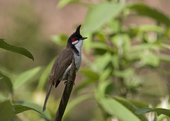 Red-whiskered Bulbul (Pycnonotus jocosus) (stuartreeds) Tags: redwhiskeredbulbul corbettnationalpark bulbul india bird