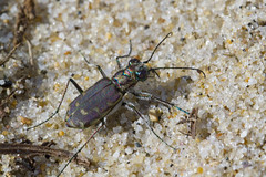 A Purplish Bronzed Tiger Beetle (brucetopher) Tags: tigerbeetle tiger beetle cicindela beach beachtigerbeetle insect bug critter creature tiny beauty beautiful pattern elytra maculations shell camouflage fast tease frustrating elusive animal outdoor macro