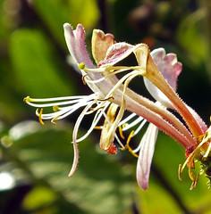 Honeysuckle 2 (Cornishcarolin. Thank you everyone xxxx) Tags: cornwall falmouth plants flowers honeysuckle climbingplants
