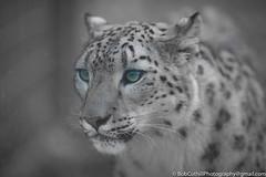 Snow Leopard (westrock-bob) Tags: color calgary ab bobcuthillphotographygmailcom canoneos6d canon6d animal spot 6d snowleopard alberta bw zoo greyscale eyes green canada