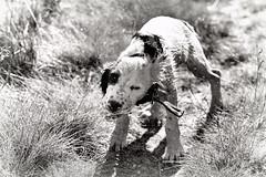 The shake off........(2) (Missy Jussy) Tags: rupert puppy dog springerspaniel spaniel england englishspringer animal pets dogwalk lancashire yorkshire denshaw canon cannon600d canon70200mm mono monochrome blackwhite blackandwhite bw bokeh littledoglaughednoiret