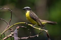 Social Flycatcher (Myiozetetes similis) Gamboa, Panama 2016 (Ricardo Bitran) Tags: myiozetetessimilis socialflycatcher gamboa panama