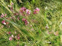 Cache-cache (nathaliedunaigre) Tags: fleurs flowers anmonesdesbois herbes garden jardin parc champtre rustic feel impression tableau gramines wildgrass grass nature potique poetic