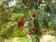 Groer Eiben Baum  Taxus baccata (eagle1effi) Tags: tbingen bergfriedhof nature naturemasterclass s7 samsung galaxy