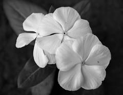 White Vinca (Emi.R.) Tags: stilllife vinca summer flowers plants nature blackandwhite monochrome closeup annual three fall autumn white