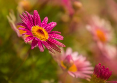 Party Girl (jenni 101) Tags: flowers colourful daises droplets sparkles spring