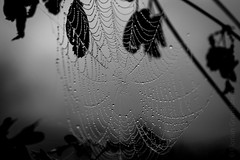 morning dew b&w (Florian Grundstein) Tags: spider web net dew morning drops droplets water cold bw blackandwhite monochrome nikon fx d610 nikkor 24120 f40 nature natural windy spinnennetz monochrom einfarbig schwarzweis natur drausen morgens oberpfalz bayern heimat florian grundstein macro makro details