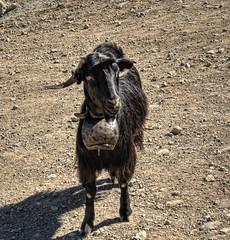A goat on Crete (neilalderney123) Tags: 2016neilhoward crete goat bell moauntain greece travel 4wdolympus olympusond omd