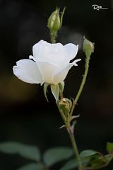 White Rose (Ren Photography) Tags: eastlansing michigan unitedstates us