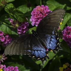 Butterfly_SAF0617 (sara97) Tags: butterfly copyright2016saraannefinke flyinginsect insect missouri nature outdoors photobysaraannefinke pollinator saintlouis towergerovepark urbanpark