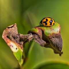 Perfectly Parked (gecko47) Tags: insect beetle bug yellow black ladybug ladybird macro minnippiwetlands brisbane flyawayhome leafdecay