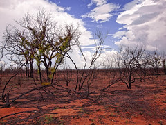 re-growth (Fat Burns  (on/off)) Tags: landscape fire bushfire regrowth burnttrees bushfirescape firescape olympuse30 olympus1454mmlens busthinia