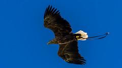 2016-10-04 Thirsk-6563.jpg (Elf Call) Tags: 120300 prey nikon hawk vulture birds owl eagle kookaburra psion d7200 hill