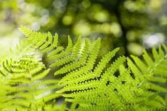 fern (MR@tter) Tags: deutschland farn herscheid nrw natur nordhelle sauerland bokeh fern green grn mrkischerkreis bokehlicious