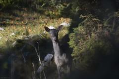 Daino (Claudio Ghizzo) Tags: cansiglio natura nikon d7100 cervi daini belluno foresta atunno seasonfall yellow