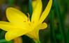 crocus d'automne (christophe.laigle) Tags: fleur macro crocus flower fuji xpro2 jaune automne yellow xf60mm christophelaigle ngc