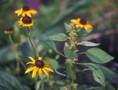 DSC04054 (Old Lenses New Camera) Tags: sony a7r schneider schneiderkreuznach xenon 5cm 50mm f2 plants garden flowers blackeyedsusan