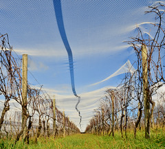 Down In The Vineyard (phunnyfotos) Tags: phunnyfotos australia victoria vic gippsland southgippsland leongatha vineyard vines grapevines winery lucindaestate net netting birdnetting farm farming viticulture nikon d5100 nikond5100 sigma1020mm line lines mesh lookingup
