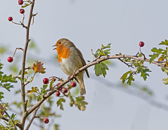 Singing on high (microwyred) Tags: birds wildlife places birlishtop robin