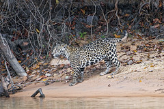 Cute jaguar cub on the beach (Tambako the Jaguar) Tags: jaguar big cat cub young walking profile river beach wildanimal wild wildlife nature pantanal matogrosso brazil nikon d5
