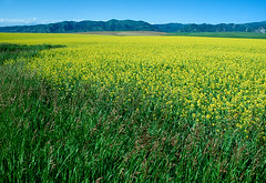 Canola on Antelope Flats (spotwolf5) Tags: antelopeflats farming idaho