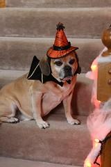 Smokey - A little batman magic! (C. VanHook (vanhookc)) Tags: dog portrait photoshoot halloweencostume