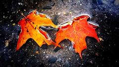 Autumn maple leaves (vinnie saxon) Tags: leaves maple leaf autumn red colors water puddle nature stilllife october season autumnleaves