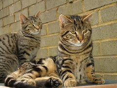 Tabby cats (rospix+) Tags: rospix 2015 wales uk animal animals cat cats tabby tabbycat